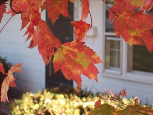 Maple Leaf at Zendo