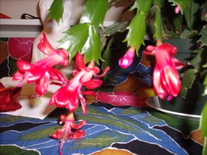 My heavenly Christmas cactus