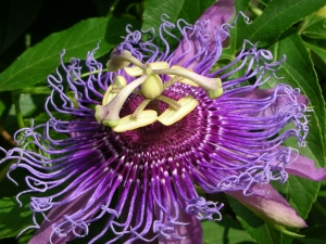 Greenbelt Lake had curious passion flowers