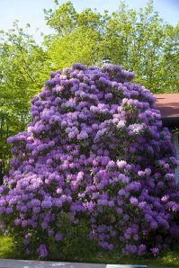 inner blossoming comes from practicing gentle kindness to self - Rhododendron, TMC, Maryland